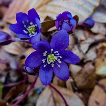 giardinobotanico-Erba fegatella