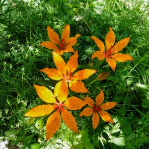 giardinobotanico-Gigli di San Giovanni
