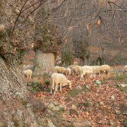 pecore nel castagneto